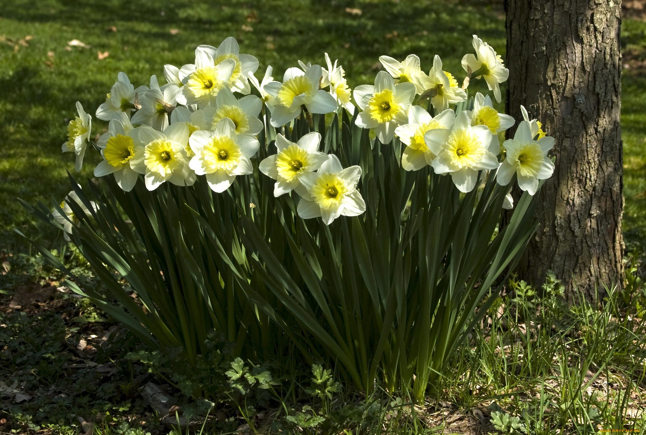 пережиток прошлого, картинки весенние цветы нарциссы новообразование
